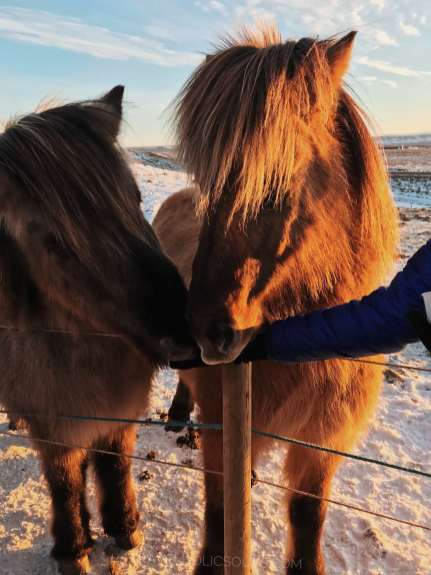 what to see in iceland horses