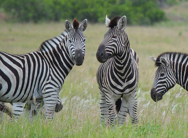 זברות בדרום אפריקה
