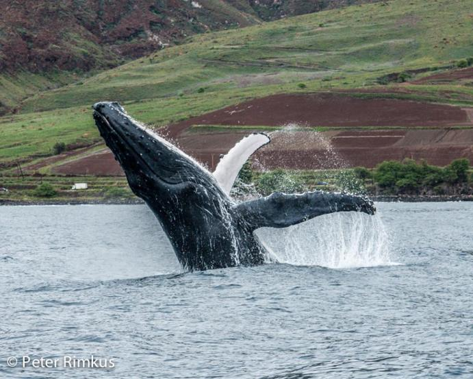 whale watching information maui