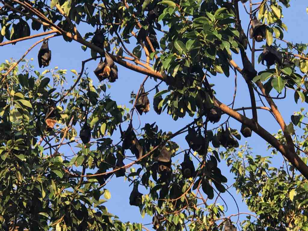Bats in a tree in Cairns