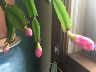 Christmas Cactus blooms for Easter