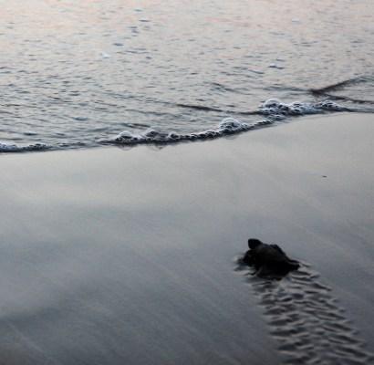 התחלות חדשות:  צבי ים יוצאים אל העולם