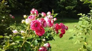 富良野、風のガーデンの濃いピンク色のバラ