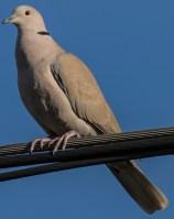 mourning dove back yard