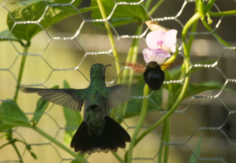 Bumble Bee and Hummingbird in a race to my pole bean flower.