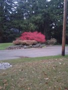 A beautiful red bush sitting in front of an equally lovely home in the burbs...