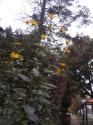 Just loved the optimism of these yellow flowers still open even as the cold is coming in...
