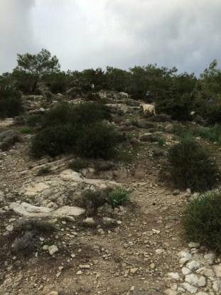 Cyprus goats