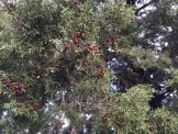 Goats delight: phoenician juniper