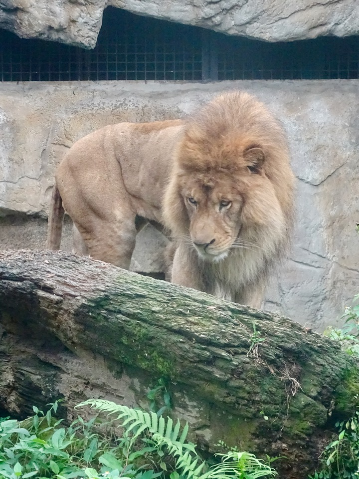 Lion at Taipei Zoo