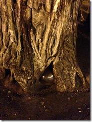 cannonballtree