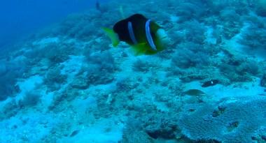 anemonefish1
