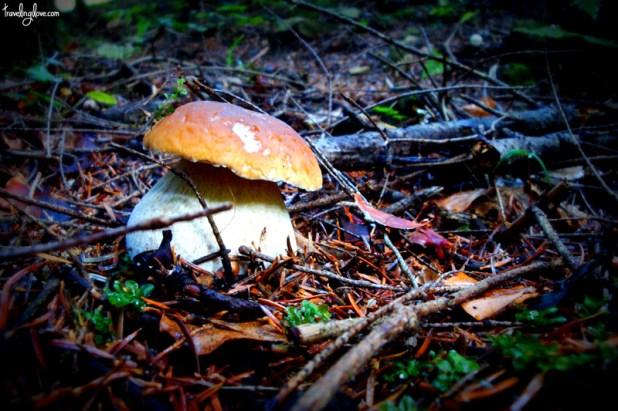 Boletus mushroom (edible)