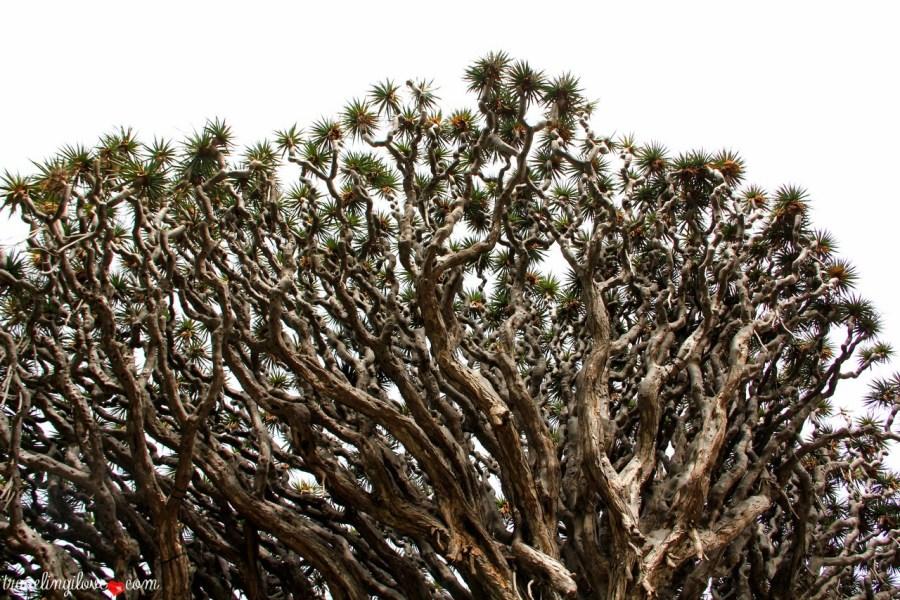 Kształt licznych, pokręconych gałęzi draceny smoczej przywodzi na myśl długie szyje stugłowego smoka