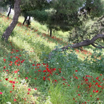 Ruins and poppies (7)
