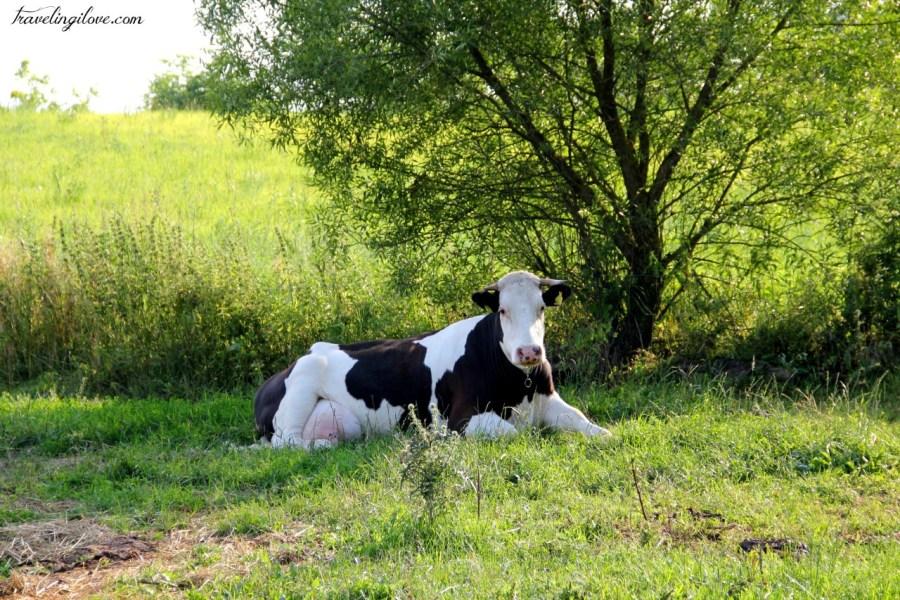 Suwalskie krowy (3)