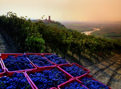 Vineyard in Piedmont region in Italy