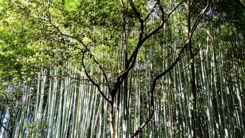 Sagano Bamboo Forest in Kyoto