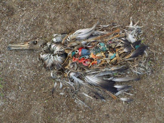 albatross pollution c