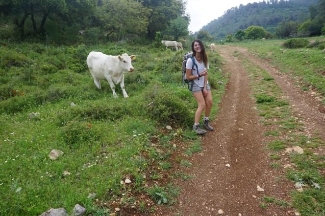 בין פרות ועגלים