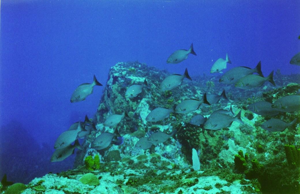 Diving with Reef Fish; San Salvador, Bahamas; 2005