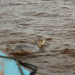 Pink River Dolphin; Malabo, Suriname; 2013