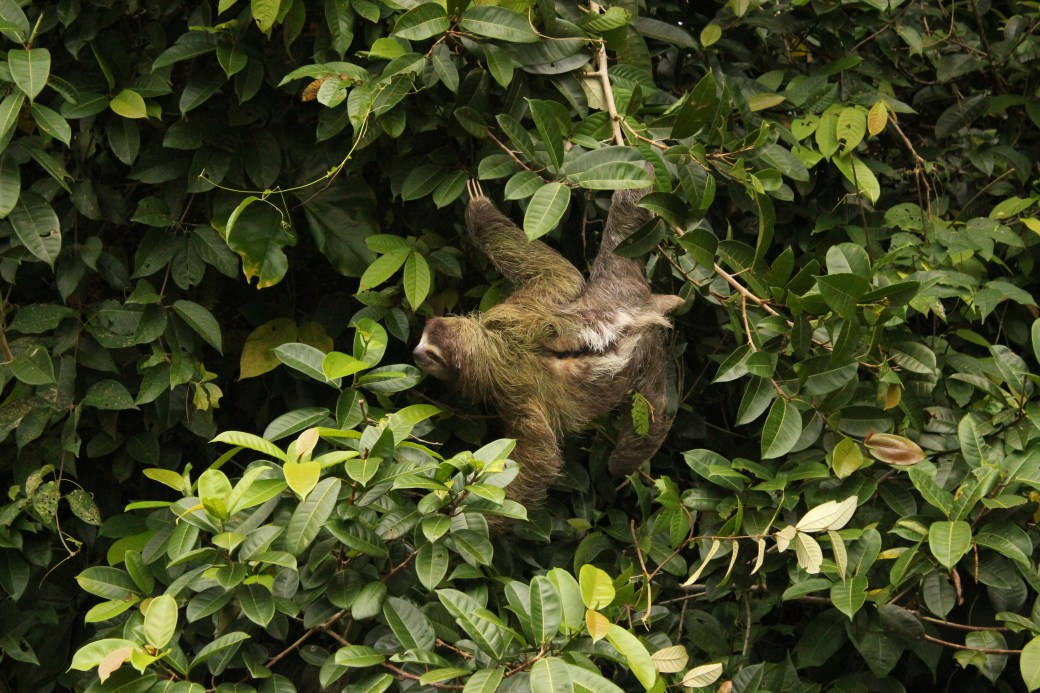 Three-toed Sloth; Tortuguero, Costa Rica; 2013