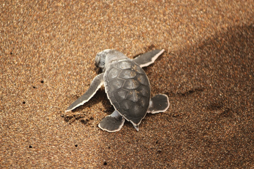 Dead Green Sea Turtle Hatchling; Tortuguero, Costa Rica; 2013