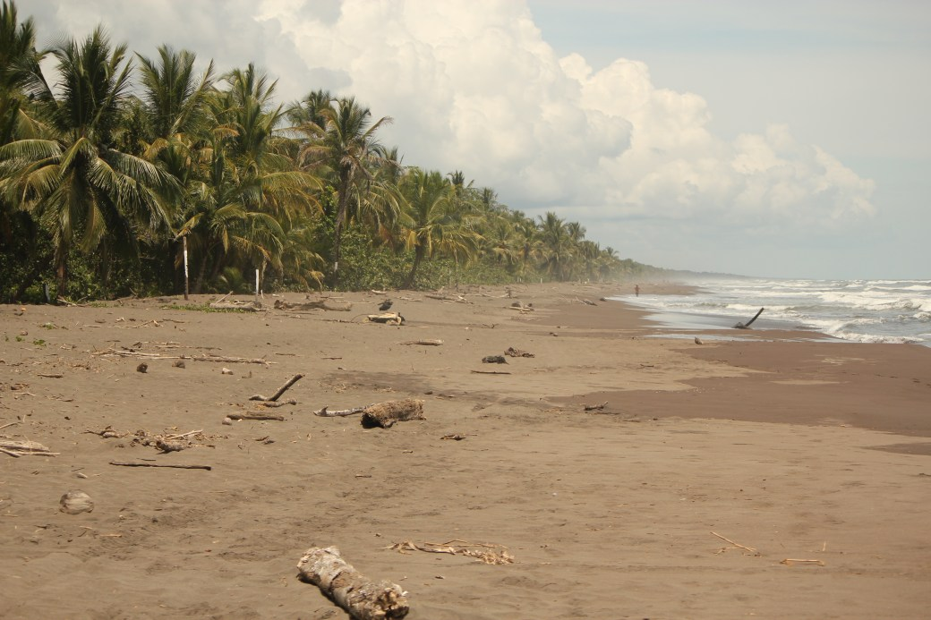 Green Sea Turtle Nesting Site; Tortuguero, Costa Rica; 2013