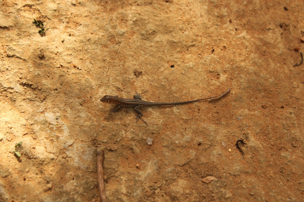 Lizard; Toliara, Republic of Madagascar; 2013