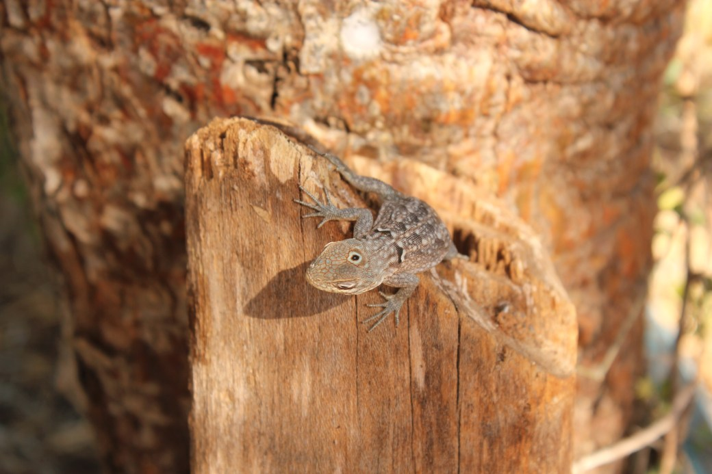 Three-eyed Horned Lizard; Ifaty, Republic of Madagascar; 2013