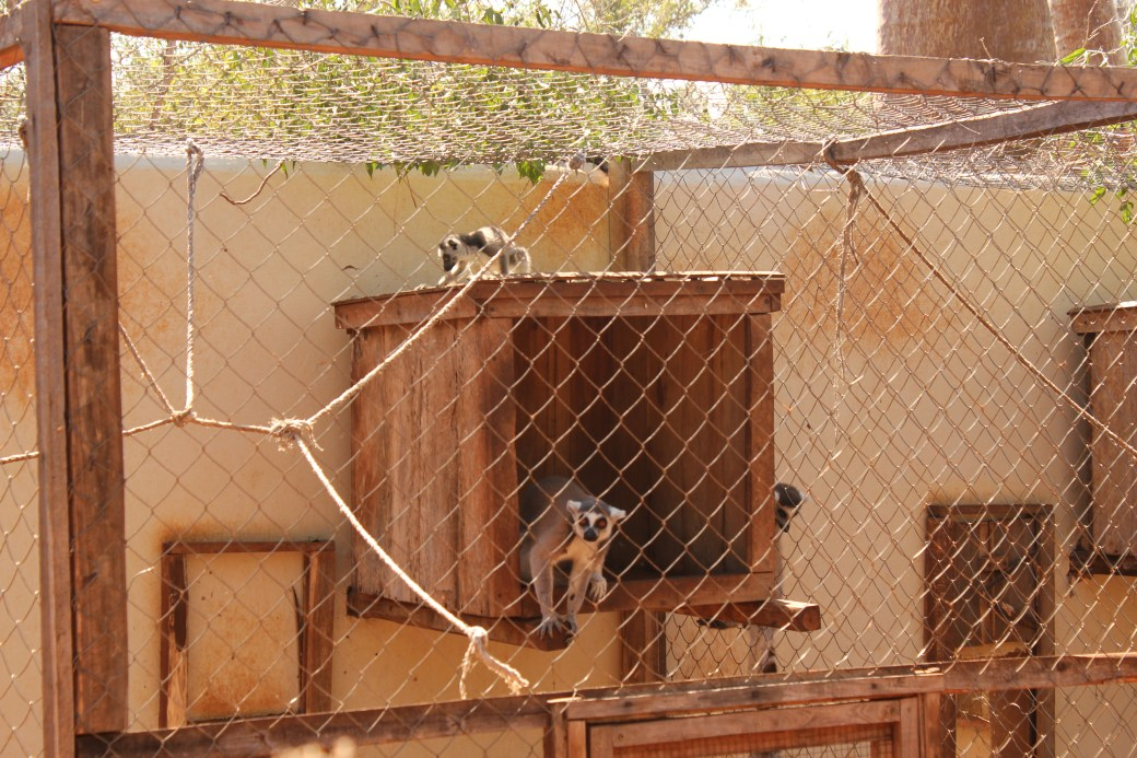 Ring-tailed Lemur Rehabilitation Project; Ifaty, Republic of Madagascar; 2013