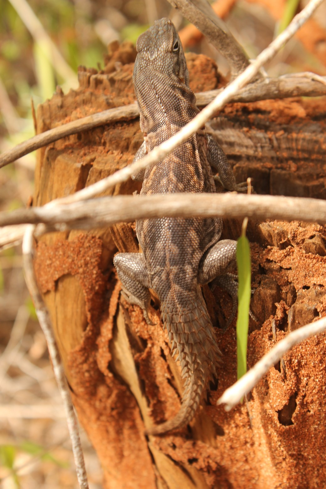 Lizard; Ifaty, Republic of Madagascar; 2013