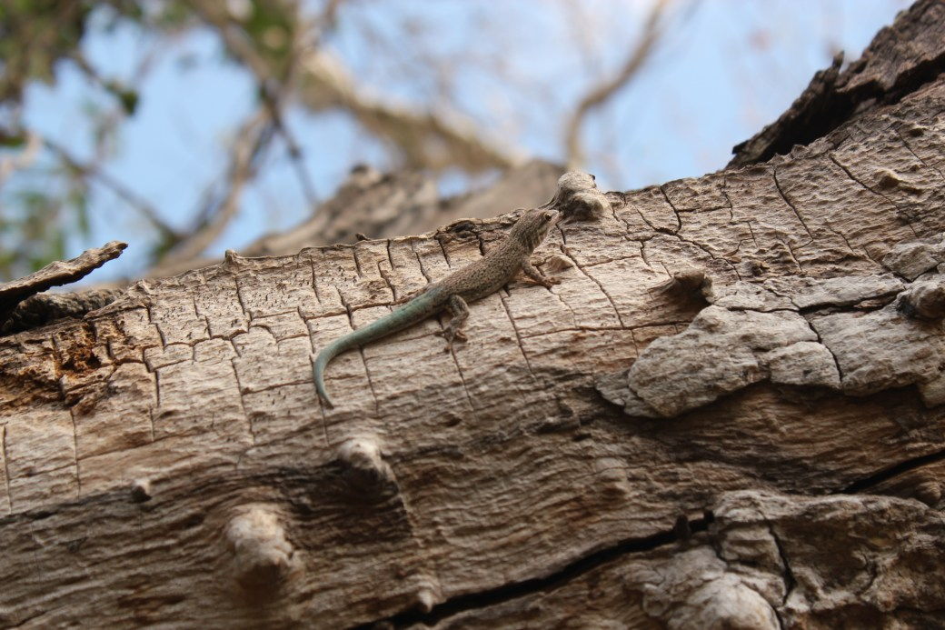 Lizard with Blue Tail; Ifaty, Republic of Madagascar; 2013