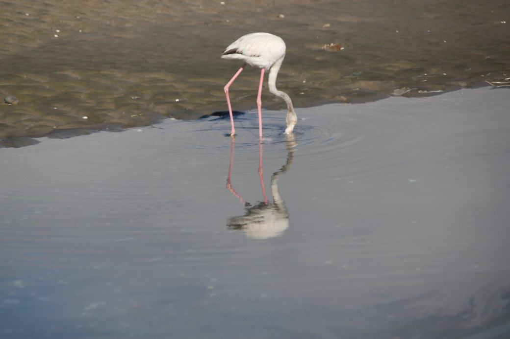 Flamingo Reflection; Walvis Bay, Namibia; 2013