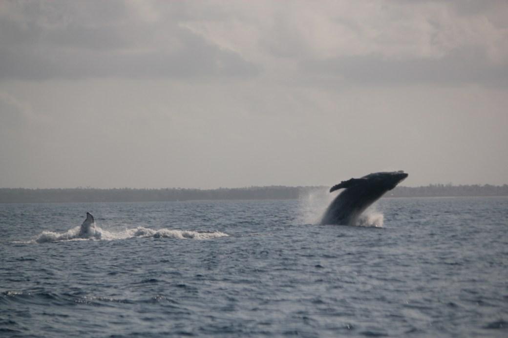 Humpback Whale Breach (2 whales in photograph); Kizimakzi Dimbani, Zanzibar, Tanzania; 2011