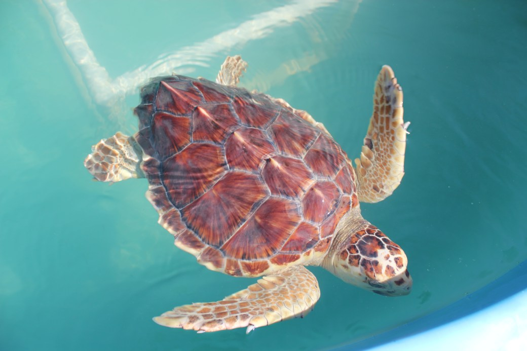 Zippy the Loggerhead; Marathon Key, Florida; 2015 (2)