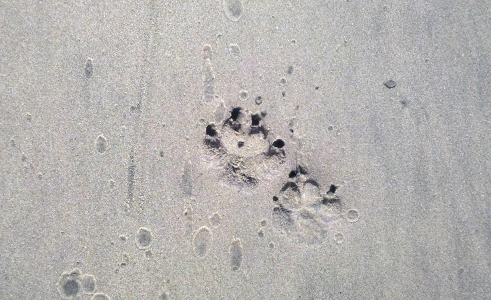 sharpei footprints