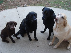 dogsitting labrador retrievers
