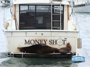 Sea Lions money shot