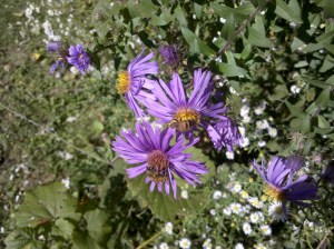Honeybees on purple aster