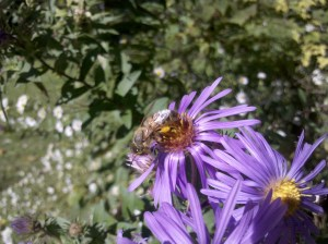 honeybee on purple aster