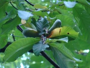 Hoosier Banana Tree Hatcher Hill