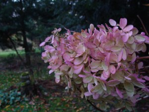 pink hydrangea bush late autumn PA snowball bush