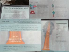 Sequoia tree facts and information