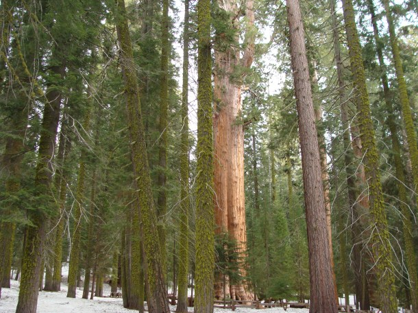 Part of what makes General Sherman so stunning for me is how he appears amid the surrounding trees in his part of the forest.