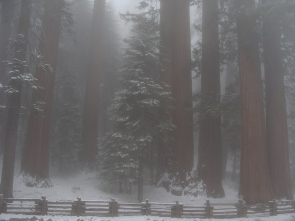 Grove of sequoia trees in California