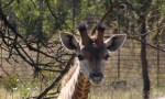 baby giraffe wildlife game reserve tour