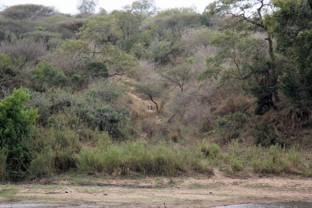 Leopards disappearing into the bush on the far bank of the Sabie River