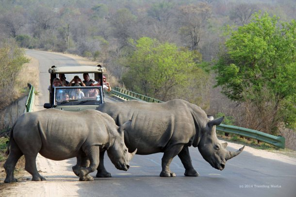 Mama and older baby rhino crossing the road in Kruger National Park.
